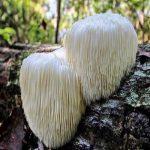 hericium-erinaceus ali resasti bradovec